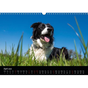 Kearton, Andrew Beauty of a Border Collie (Wall Calendar 2020 DIN A3 Landscape)