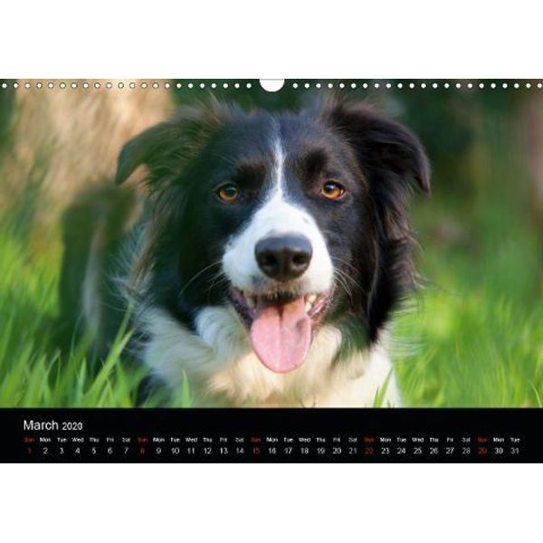 Kearton, Andrew - Beauty of a Border Collie (Wall Calendar 2020 DIN A3 Landscape)