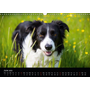Beauty of a Border Collie (Wall Calendar 2020 DIN A3 Landscape)